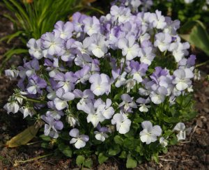 103875 7040 Viola fiona close up of plant in flower