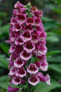 104528 9674 Foxglove (Digitalis purpurea) close up of flower