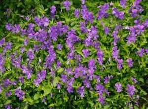 121426 0239 Viola odorata Garden violet plants in flower