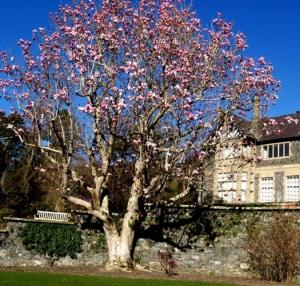 Magnolia at Bodnant a