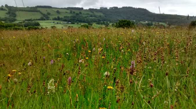 Cwmdu Meadow