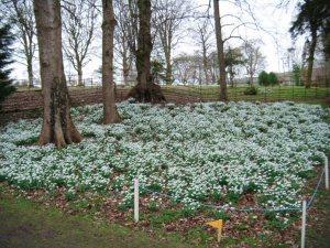 Snowdrops Colesbourne 3