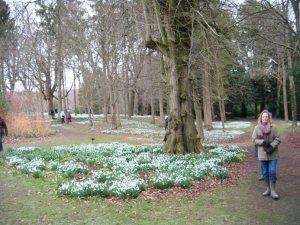 Snowdrops Colesbourne 4