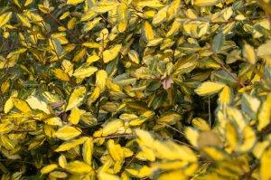 eleagnus-pungens-maculata-sdim0947-2