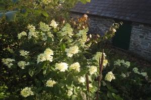 hydrangea-paniculata-grandiflora